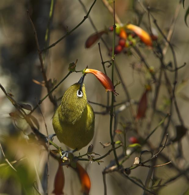 Cape White-eye (Zosterops capensis) photo