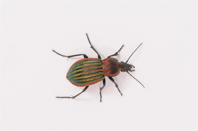Carabus nitens photo