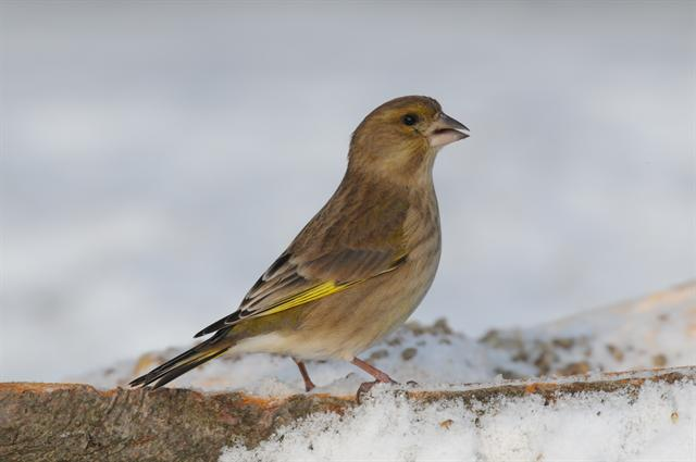 European Greenfinch (Carduelis chloris)