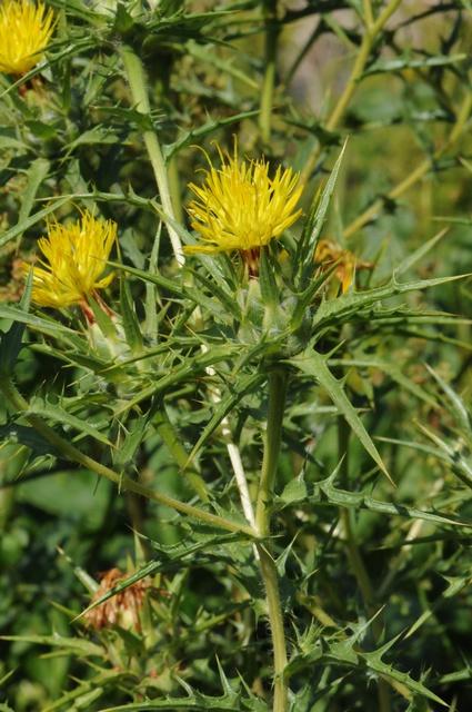 Carthamus Tinctorius Safflower: Safflower (Carthamus Tinctorius) Biopix Photo/image 63789