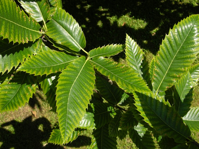 Image of Castanea sativa