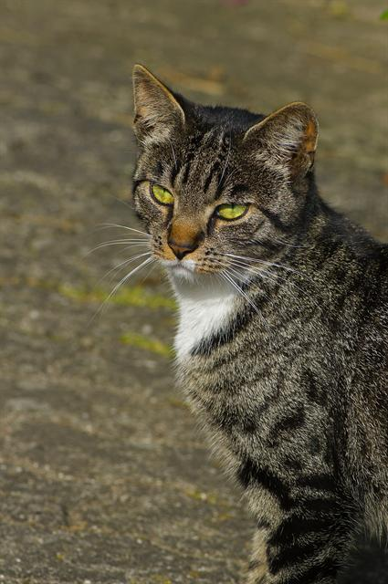cat (Felis catus domesticus) photo
