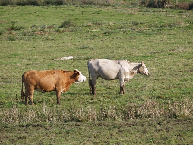 cattle, cow (Bos taurus) photo