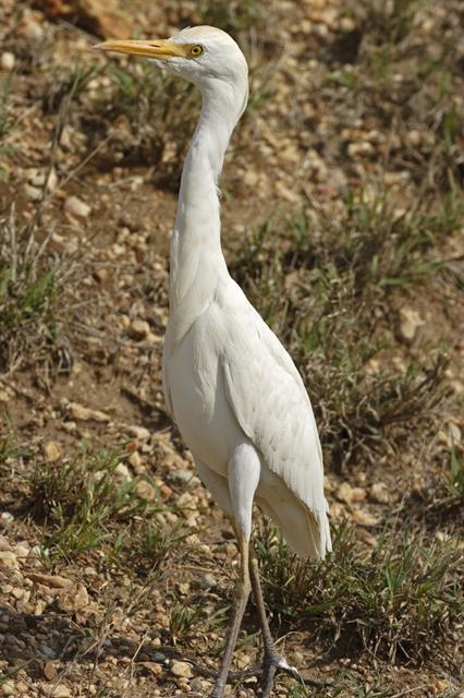 Cattle Egret (Bubulcus ibis) photo