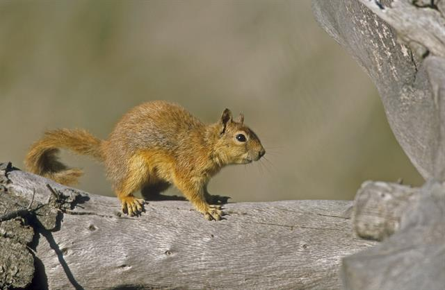 Caucasian squirrel, Persian squirrel (Sciurus anomalus) photo