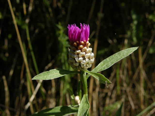 Brown Knapweed (Centaurea jacea)