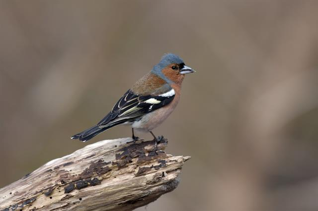 Chaffinch (Fringilla coelebs) photo