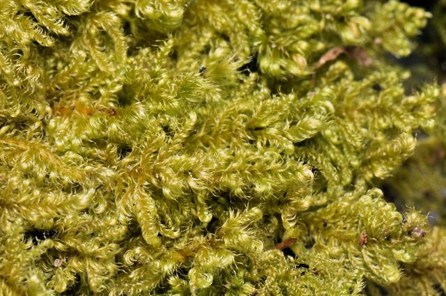 Chalk Comb-moss (Ctenidium molluscum) photo