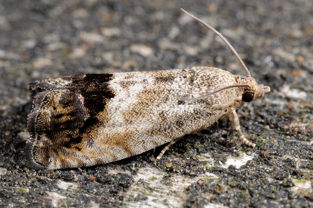 Chestnut Tortrix (Cydia splendana) photo