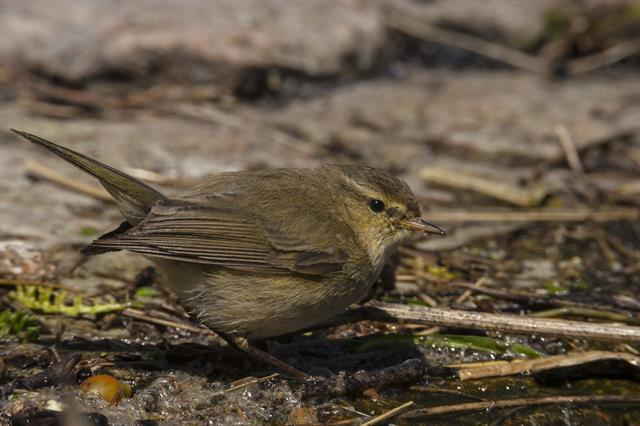 Chiffchaff (Phylloscopus collybita) photo