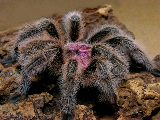 Chilean rose tarantula (Grammostola rosea) photo