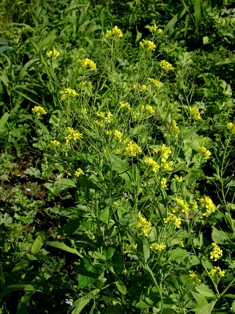 Chinese Mustard (Brassica juncea) photo