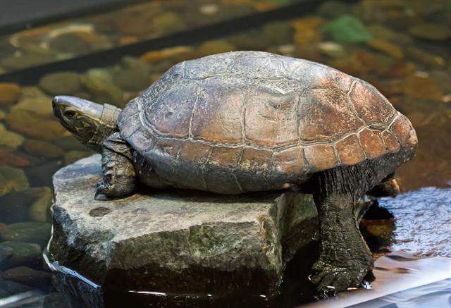 Chinese Pond Turtle (Chinemys reevesii) photo