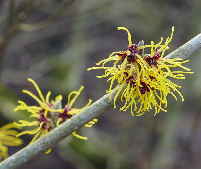 Chinese Witch Hazel (Hamamelis mollis) photo