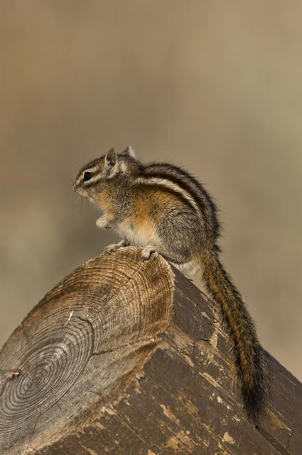 Chipmunk (Neotamias sp.) photo