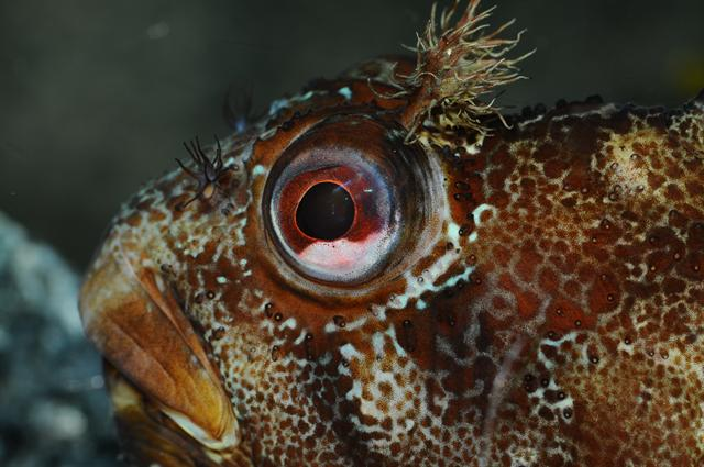 Yarrell´s blenny (Chirolophis ascanii)