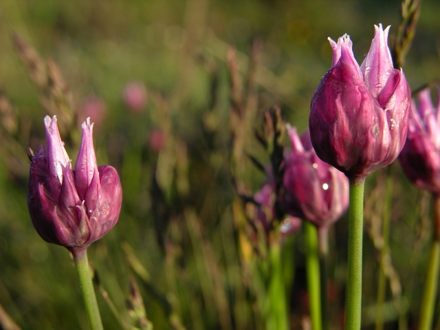 Chives (Allium schoenoprasum) photo