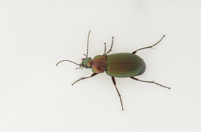 Chlaenius nigricornis photo