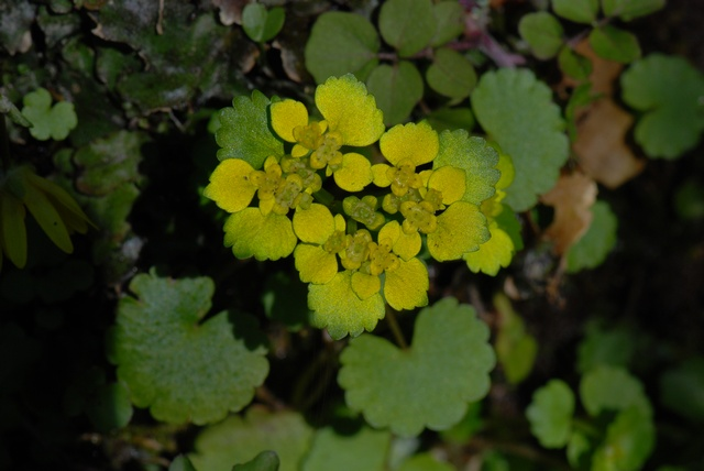 Alternate-leaved Golden Saxifrage (Chrysosplenium alternifolium)