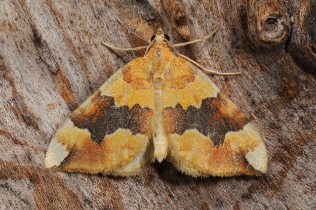 Barred Yellow (Cidaria fulvata)