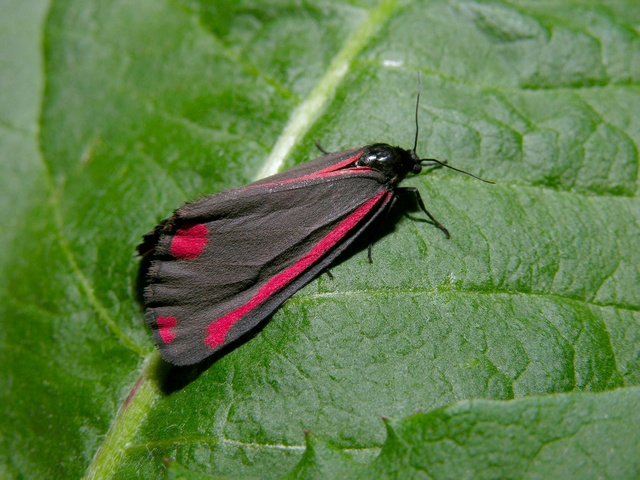 Cinnabar (Tyria jacobaeae) photo