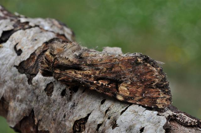 Clouded Brindle (Apamea epomidion) photo