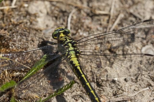 Club-tailed Dragonfl (Gomphus vulgatissimus) photo