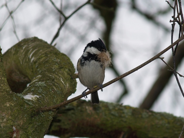Coal Tit (Parus ater) photo