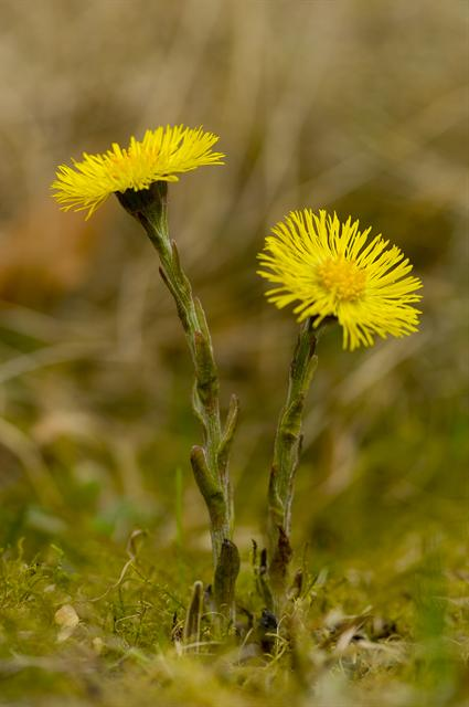 Coltsfoot (Tussilago farfara) photo
