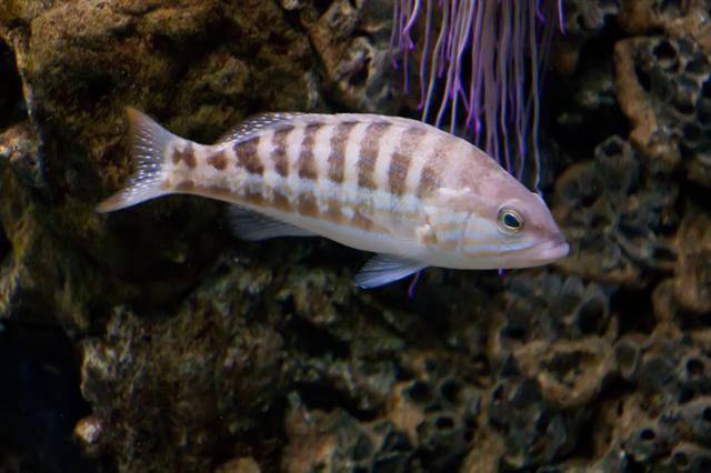 Comber (Serranus cabrilla) photo