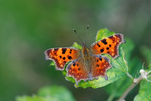 Comma Butterfly (Polygonia c-album) photo