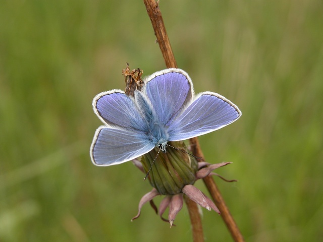 Common Blue (Polyommatus icarus) photo