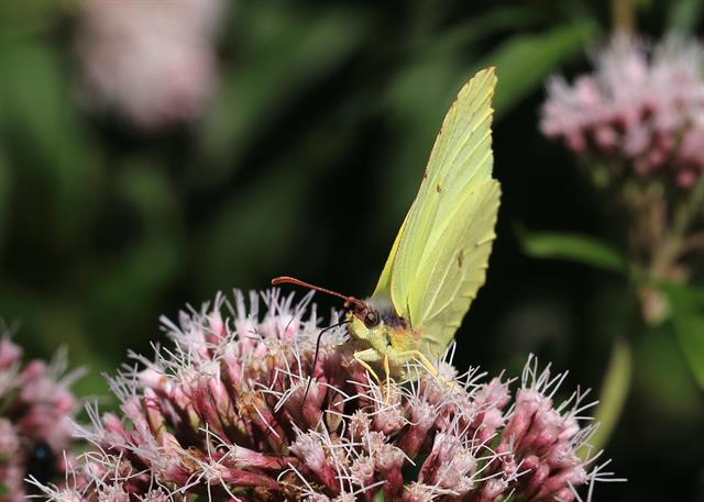 Common Brimstone (Gonepteryx rhamni) photo