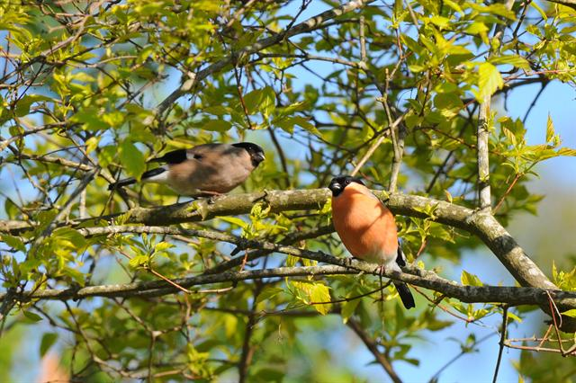 Common Bullfinch (Pyrrhula pyrrhula) photo