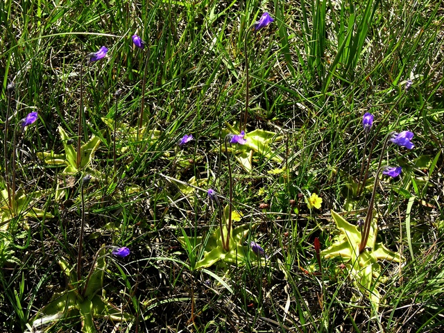 Common Butterwort (Pinguicula vulgaris) photo