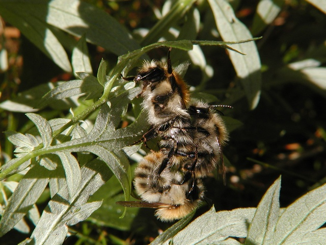 Common Carder-bee (Bombus pascuorum) photo