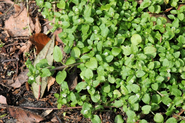 Common Chickweed (Stellaria media) photo