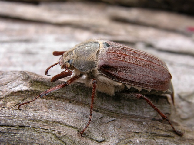 Common Cockchafer (Melolontha melolontha) photo
