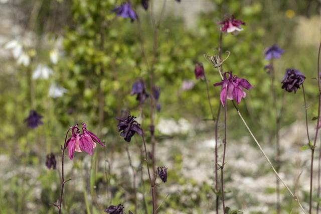 Common Columbine (Aquilegia vulgaris) photo