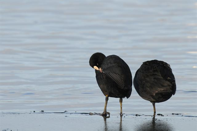 Common Coot (Fulica atra) photo