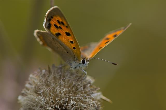 Common Copper (Lycaena phlaeas) photo