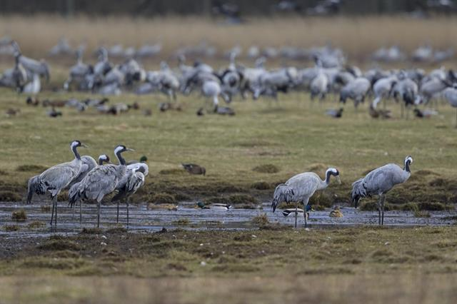 Common Crane (Grus grus) photo