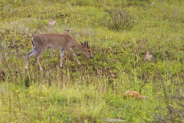 Common duiker (Sylvicapra grimmia) photo