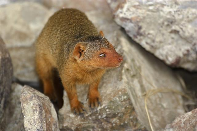 Common Dwarf Mongoose (Helogale parvula) photo