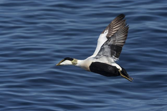 Common Eider (Somateria mollissima) photo
