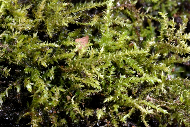 Common Feather-moss (Kindbergia praelonga) photo