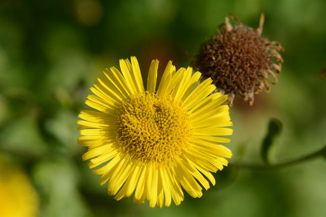 Common Fleabane (Pulicaria dysenterica) photo