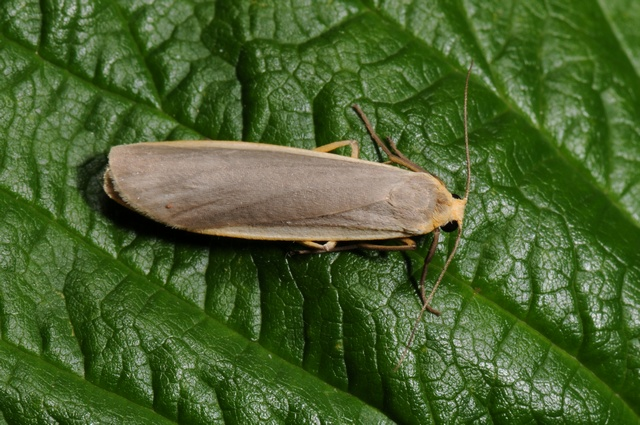 Common Footman (Eilema lurideola) photo