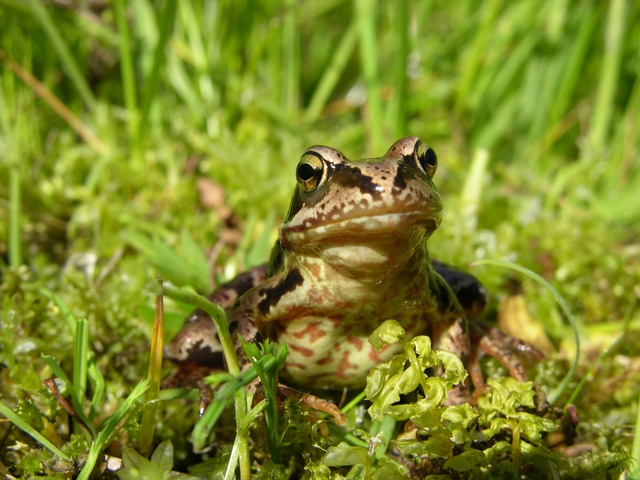Common Frog (Rana temporaria) photo