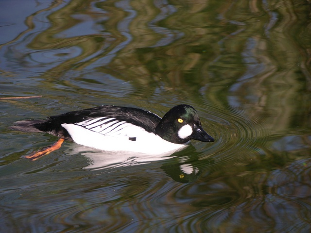 Common Goldeneye (Bucephala clangula) photo